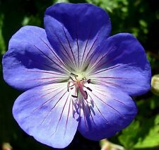 HARDY PERENNIAL GERANIUM Pratense Sky True Blue Flowers 10 Seeds