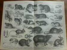 1874 ENGRAVING RODENTIA - RODENTS or GNAWING ANIMALS Squirrel MARMOT Gopher HARE