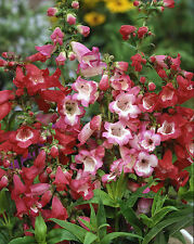 Penstemon Crown Hybrids - 750 seeds - Perennials