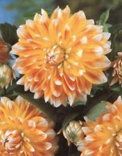 Special Dinner Plate Decorative Dahlia 'Peaches and Cream' Prins Bulb/Tuber