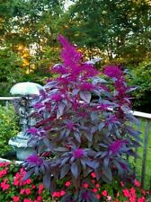 Bright Purple Amaranth Mix! RARE HEIRLOOM! 6-7 FT TALL! 50 Seeds! Comb. S/H