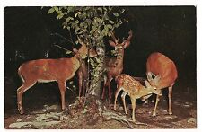 Baby Spotted DEER Family Herd at Night Dark Background Vintage Postcard