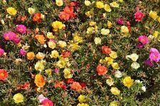 200 Samen Portulakröschen bunte Mischung - Portulaca grandiflora