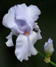 Iris Rhizomes Silverado - Shimmering Pale purple - 3