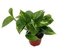 "Air Purifier Golden Devil's Ivy - Pothos Plant / 4"" Pot / Easy to Grow"