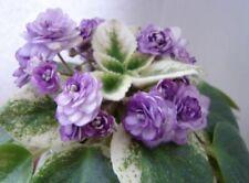 Semiminiature African Violet Winnie Woo - Starter Plant