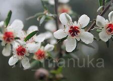 MANUKA SEEDS 500+ Genuine seeds from New Zealand [Leptospermum scoparium]