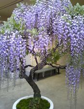 Wisteria Bonsai, Fresh seeds, Hardy, Easy to grow and train. Exotic tropical