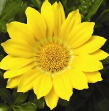 GAZOO YELLOW GAZANIA rigens hardy daisy-like plants -large 4cell seedling punnet