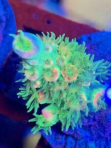 Jason Fox Homewrecker Acropora Tenuis Wysiwyg Frag SPS Live Coral