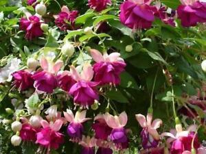 Trailing Fuchsia 'Eva Boerg' Summer Garden Plug Plants Pack x6