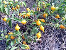 Biquinho - wild yellow pepper shaped like a top