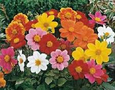 50 Dahlia Seeds Mignon Mix Flower Seeds