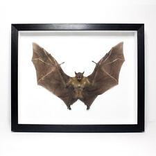 "MASSIVE Fruit Bat Framed 16"" UK - REAL, Teeth, Horror, Oddity, Gothic, Taxidermy"