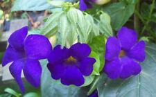Thunbergia battiscombei plant