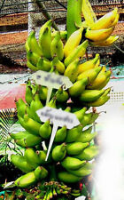 "Bulb MUSA (ABBB GROUP) ""KLUAI NOM SAO"" Banana Plant + Phytosanitary Certificate"