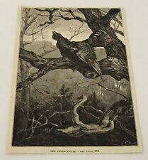 1884 magazine engraving ~ THE CAPERCAILLIE BIRD