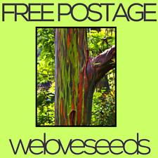 LOCAL AUSSIE STOCK - Rainbow Eucalyptus Deglupta, Ornamental Tree Seeds ~25x
