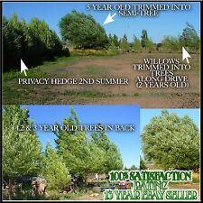 50 Austree Hybrid willow salix Tree Cuttings Fresh Fast Windbreaks Privacy fence
