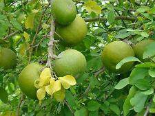 8 Graines - Bael - AEGLE MARMELOS - Frutier - Samen Semi Tree Fruit