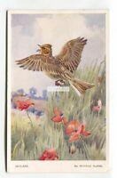 Skylark, bird - old artistic postcard by Winifred Austen, Valentine's No. 1296
