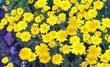 Leuchtet wie Gold : Arabischer Goldteppich - verschönert den Blumenstrauß /Samen