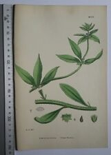 English Botany, J. Sowerby, handcoloured Lithograph, Plate 1120, 3.Edit. 1880.
