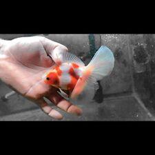 New listing Female Sakura Veil Tail Thai Oranda Goldfish (5�) High Quality
