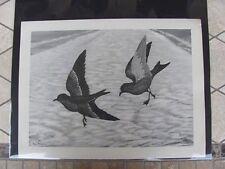 Original  Rex Brasher #108  Hand Painted   Print  Ashy Petrel  #108REX2 DSS