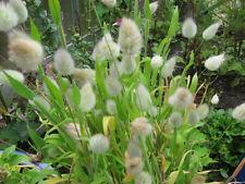Hasenschwanzgras-Bunny-Tails-kompakt-wachsend Hasenschwanz-Gras-Bunny