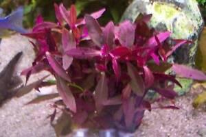 3 Bund Rote Pflanzen Aquarium Aquariumpflanzen Pflanze Wasserpflanze (€1,91/Bd)