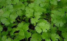 50 Graines BIO de CORIANDRE à semer - Coriandrum sativum - Herbe Aromatique