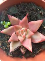 ECHEVERIA MIX 10 x Hojas Leaf Cutting from a live plant planta esqueje
