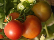 Tomato Early Cascade - Best Eating Saladette Varieties on the Market - 15 Seeds!
