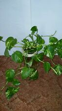 Devils Ivy. Money Plant And So On. Great For Beta Fish Vase!!