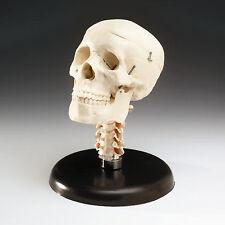 Skull With Cervical Vertebrae, Educational/Halloween