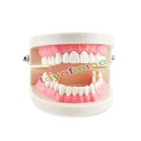 Dental KID Child Teach Study Adult Standard Typodont Demonstration Teeth Model