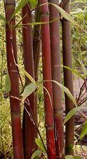 BAMBOU ROUGE Fargesia red Panda