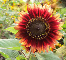 Red Sunflower Seeds Garden Courtyard Annual Herb Plant - 40 Seeds