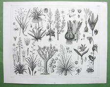 PLANTS Lilacae Dragon Tree Crocus Flax Squill Flowers - 1844 Engraving Print