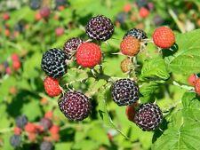 25 Black Raspberry Bush Seeds! Very Sweet, No Pesticides used!