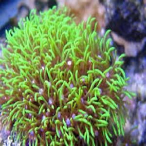 """Green Star Polyp, Frag, """"GSP"""", Soft Coral, Beginner,"""