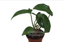 """Philodendron Pedatum - 2"""""""