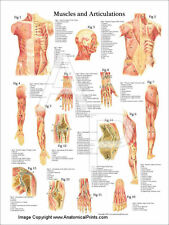 """Muscles and Articulations Anatomy Poster 18"""" X 24"""" Medical Chart"""