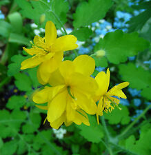 Greater Celandine / Chelidonium majus : Double-flowered form : 150+ Seeds