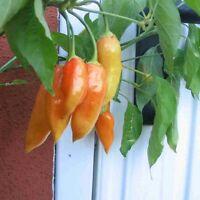 Sugar Rush Peach pfirsichfarbene Chilli aus Peru fruchtig-süße Chili Rarität!