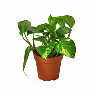 "Pothos 'Golden' - 4"" Pot"