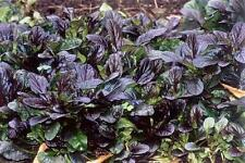 1 Ajuga Reptans Braunherz Evergreen groundcover Blue Bugle Bee Butterfly plant