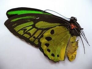 UNMOUNTED BUTTERFLIES/ORNITHOPTERA PRIAMUS STERRENSIS MALE .