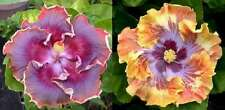 Tropical Hibiscus Seeds - Night Runner x Kevin Johnson - Rosa-Sinensis- 10 Seeds